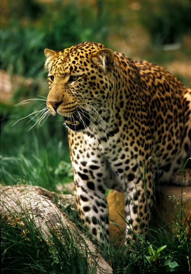 http://www.tropical-rainforest-animals.com/image-files/jaguar.jpg